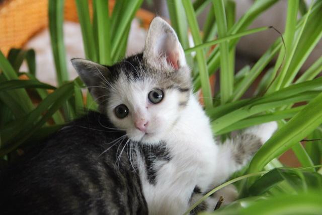 FELIX - Katzenbaby - SUCHT ein ZUHAUSE - geboren ca. 07.07.2017 - 24_08_15