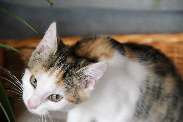 Glückskatze - KatzenBABY - KatzenKIND - SUCHT ein ZUHAUSE / geboren ca. 10. Mai 2017  24_08_21
