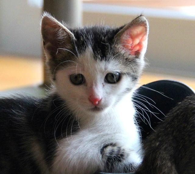 FELIX - Katzenbaby - SUCHT ein ZUHAUSE - geboren ca. 07.07.2017 - 27_08_10