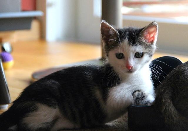FELIX - Katzenbaby - SUCHT ein ZUHAUSE - geboren ca. 07.07.2017 - 27_08_11