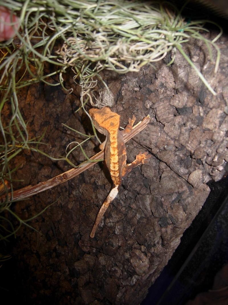Terra Rhacodactylus Ciliatus Dscn1711