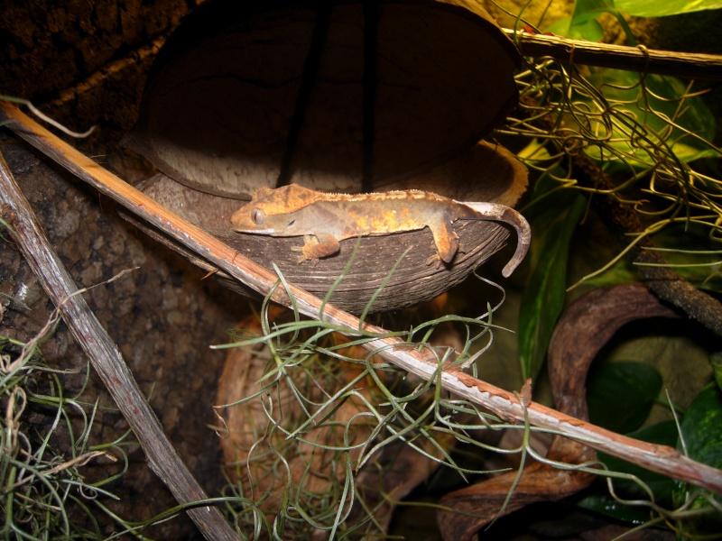 Terra Rhacodactylus Ciliatus Dscn1712