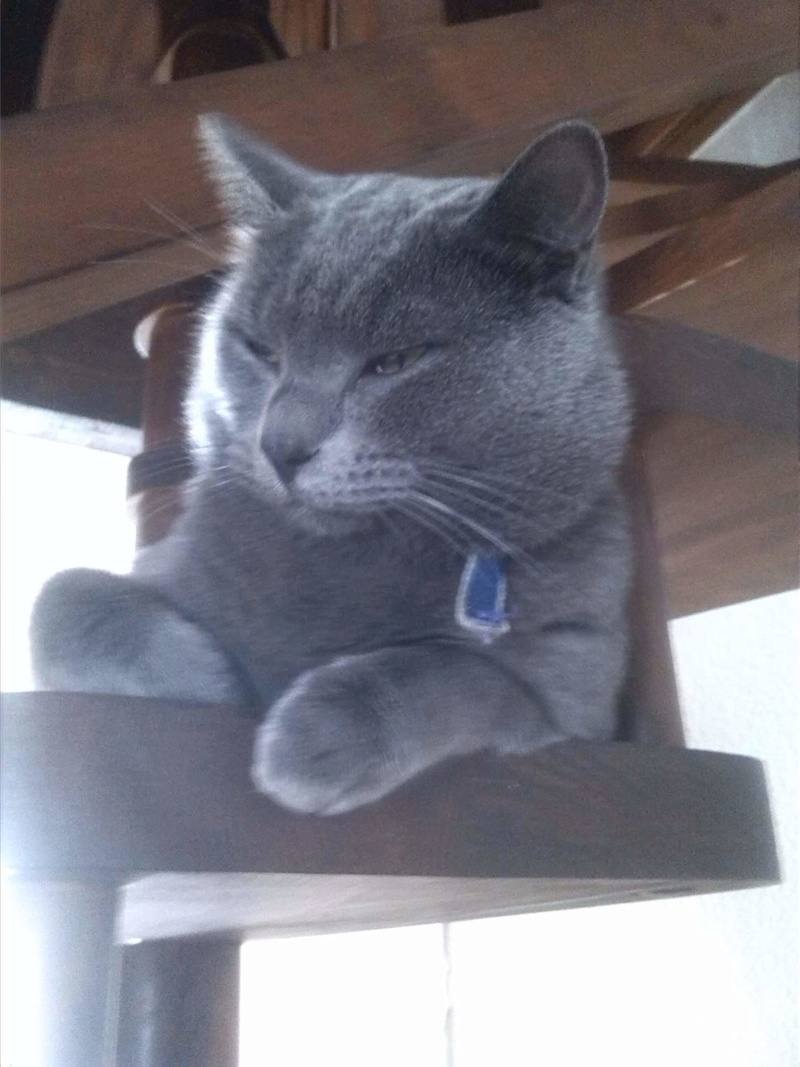Perdu chat typé chartreux aux Marots 20399210