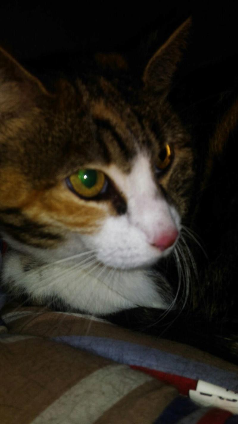 Trouvée chatte tricolore tigrée à Colomiers 20904210