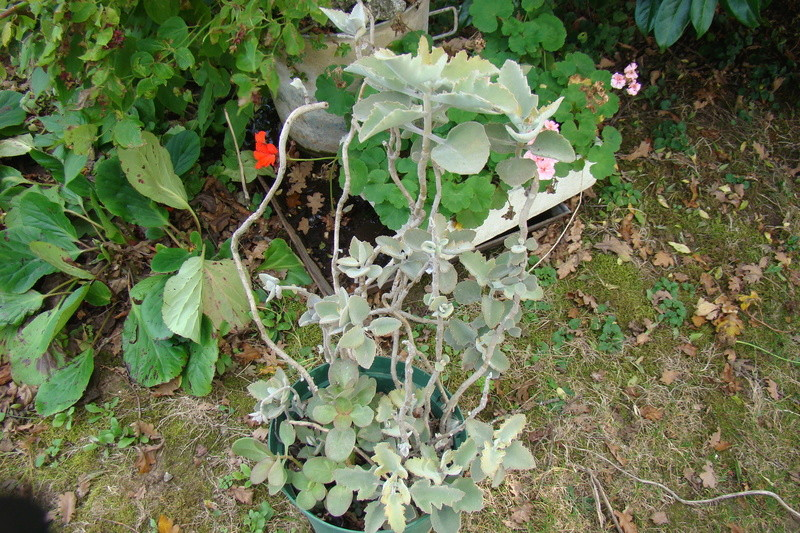 Kalanchoe beharensis Dsc01140
