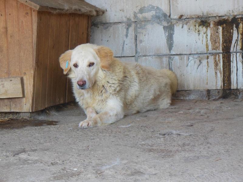 BALANUCH, mâle croisé berger sauvé de Pallady, né en 2009 parrainé par Nathalie Gamblin-SC-R-SOS- 12510