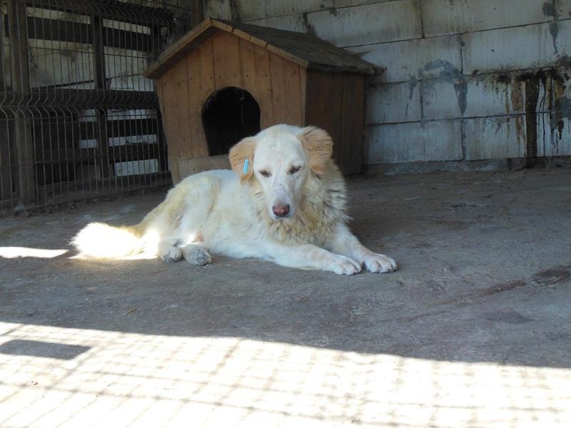 BALANUCH, mâle croisé berger sauvé de Pallady, né en 2009 parrainé par Nathalie G. -Gage Coeur  Myri_Bonnie-SC-R-SOS- 12610