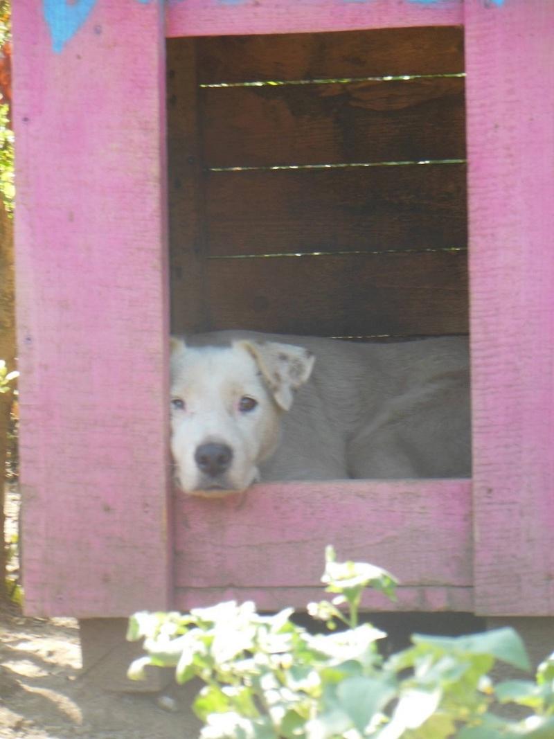 DULCE - Magnifique femelle Blanche - née en 2009 - Parrainée par Samie -SOS-FB-R-SC-  - Page 2 1310