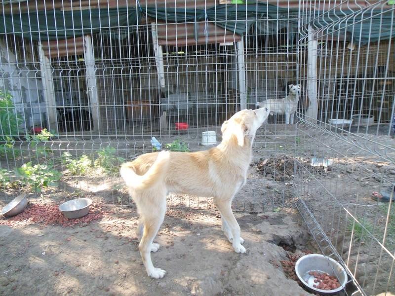 ANKO mâle, couleur crème, né en sept 2016 (chiot d'AKELA) - Famille trouvée par Lenuta dans un champ - parrainé par Mirko78 -R-SC-SOS 17310