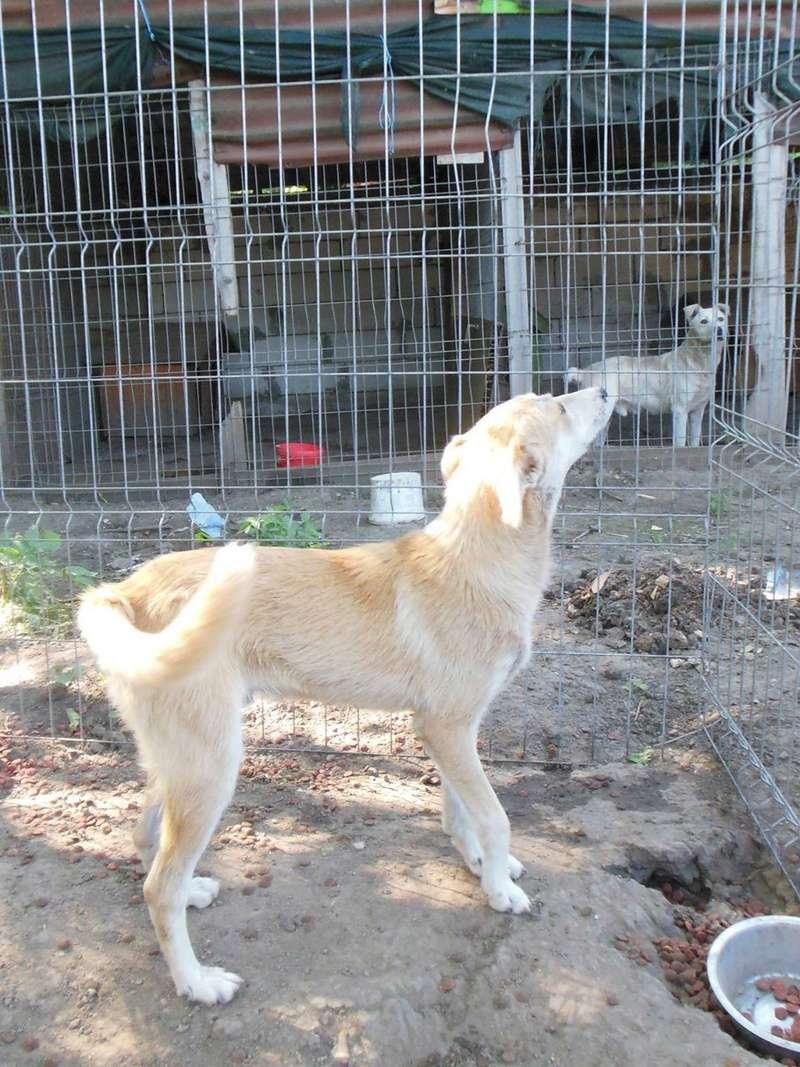 ANKO mâle, couleur crème, né en sept 2016 (chiot d'AKELA) - Famille trouvée par Lenuta dans un champ - parrainé par Mirko78 -R-SC-SOS 173bis10