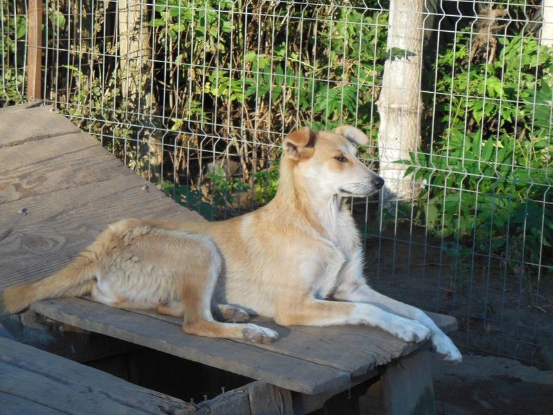 ANKO mâle, couleur crème, né en sept 2016 (chiot d'AKELA) - Famille trouvée par Lenuta dans un champ - parrainé par Mirko78 -R-SC-SOS 20410