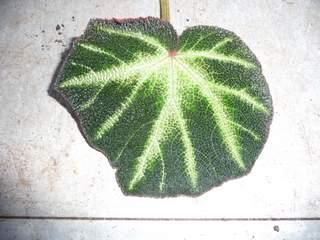 begonia P1050410