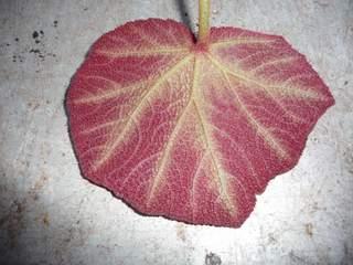 begonia P1050411