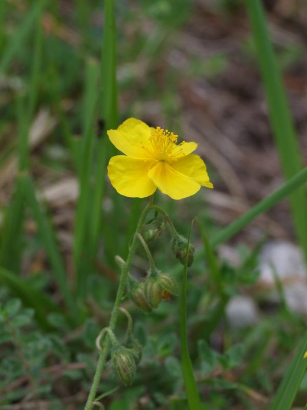 2 fleurs - Hautes Pyrénées Fleur_11