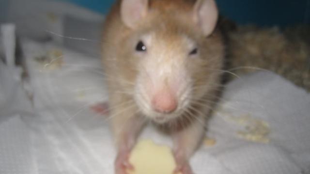 Qui a un rat Velours? Img_0220