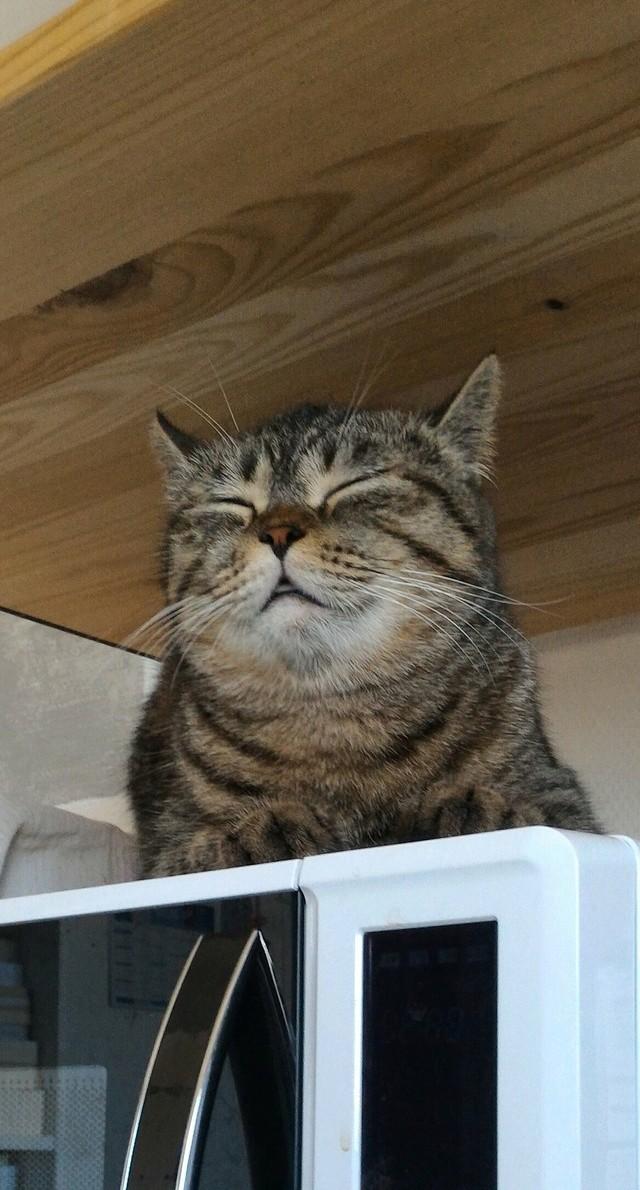 Perdue chatte tigrée croisée British Shortair, à Colomiers Mini_110