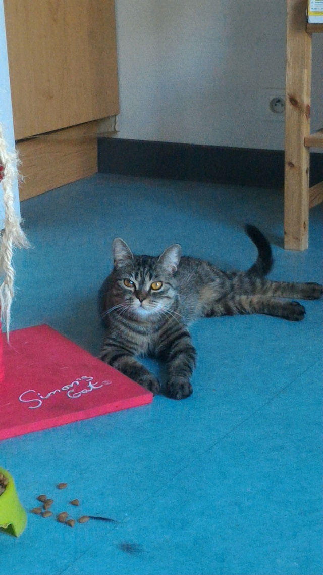 Perdue chatte tigrée croisée British Shortair, à Colomiers Mini_310