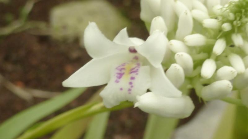Dendrobium linearifolium  P1250410