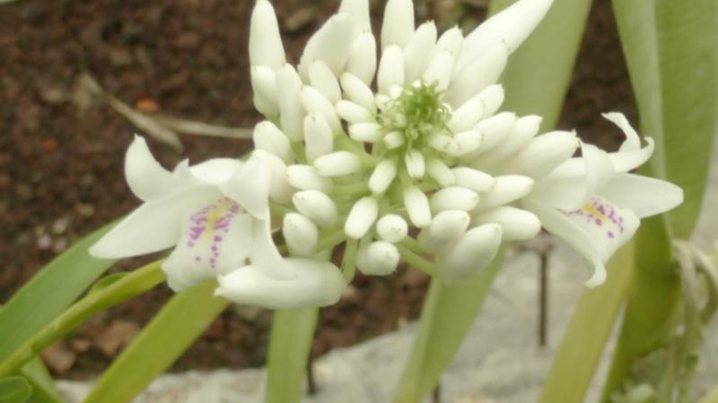 Dendrobium linearifolium  P1250411