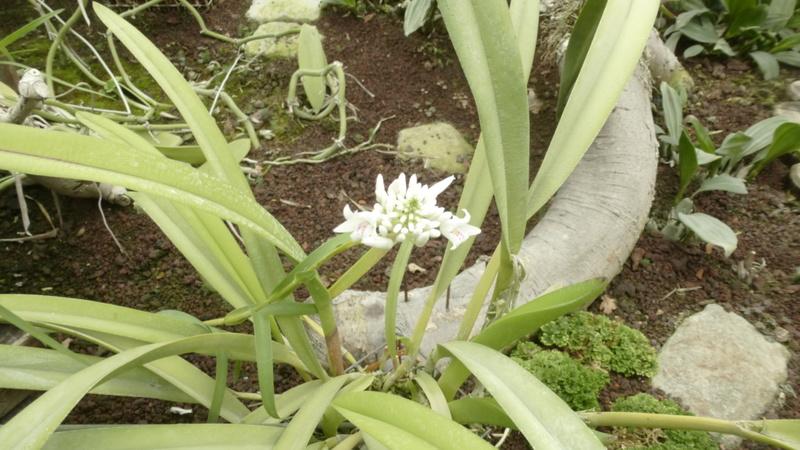 Dendrobium linearifolium  P1250412