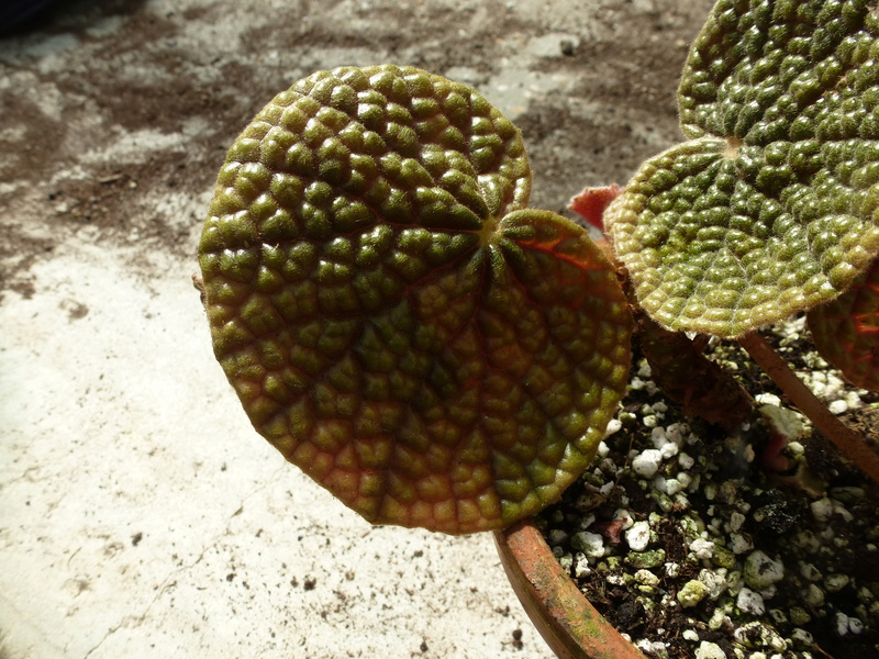 Begonia bullatifolia  P1250414
