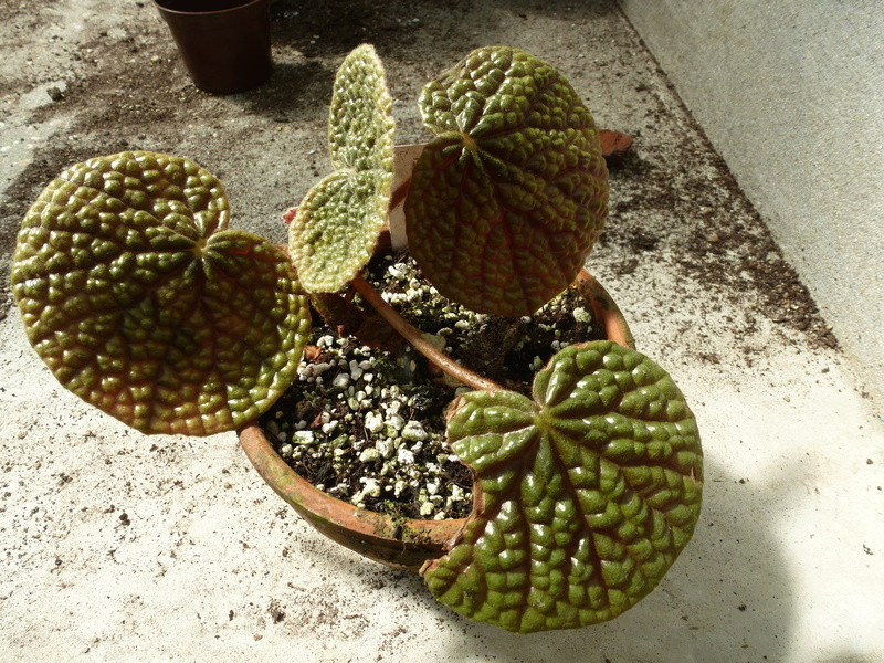 Begonia bullatifolia  P1250416