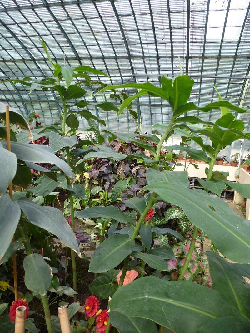 Voila le 2eme Zingiberaceae inconnue  P1250429