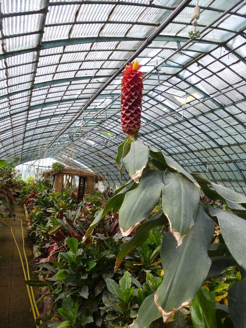 Voila le 2eme Zingiberaceae inconnue  P1250431