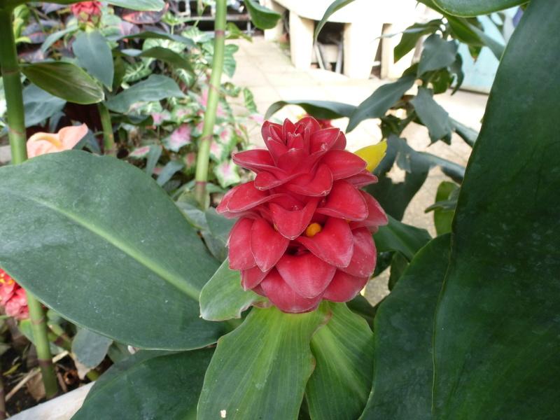 Voila le 2eme Zingiberaceae inconnue  P1250432