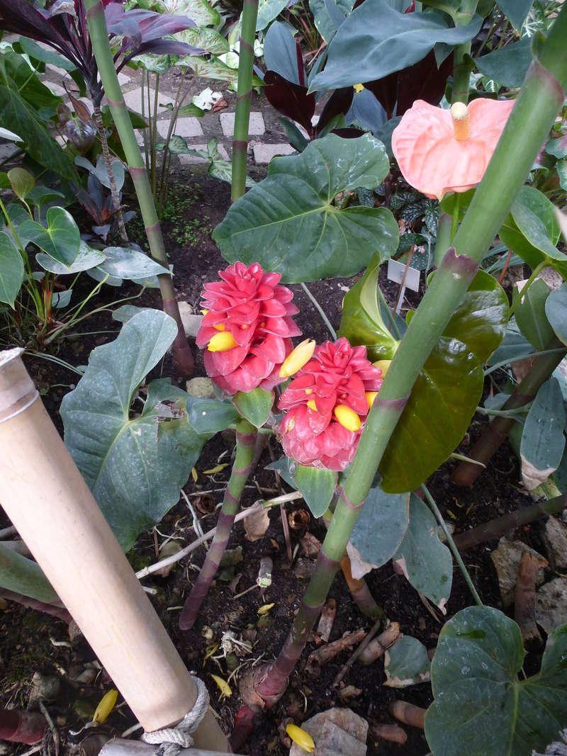 Voila le 2eme Zingiberaceae inconnue  P1250433