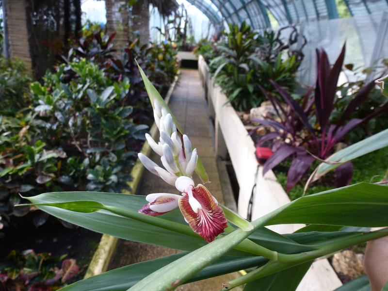 Aframomum melegueta Zingiberaceae P1250445