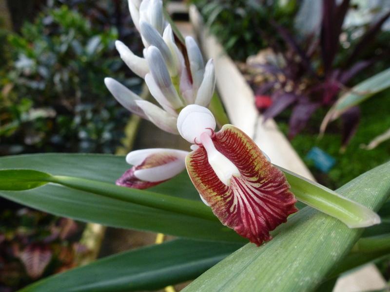 Aframomum melegueta Zingiberaceae P1250446