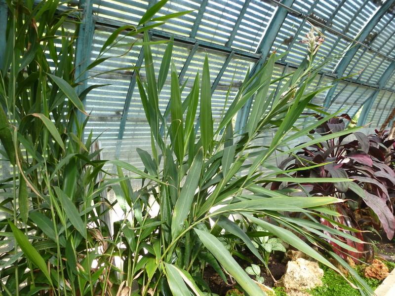 Aframomum melegueta Zingiberaceae P1250448