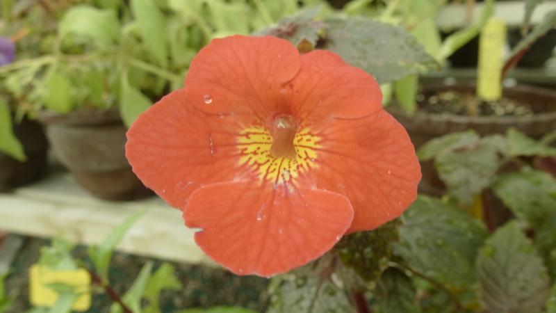 Quelques fidéles sont en fleurs  P1250449