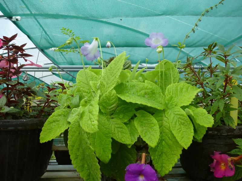 Quelques fidéles sont en fleurs  P1250451