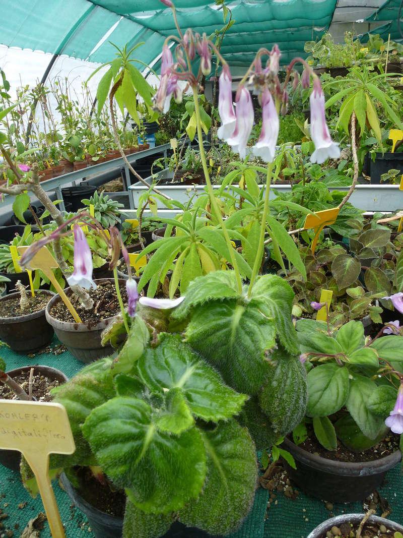 Quelques fidéles sont en fleurs  P1250517
