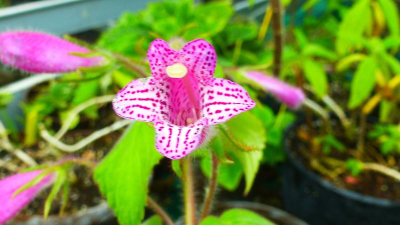 Quelques fidéles sont en fleurs  P1250519