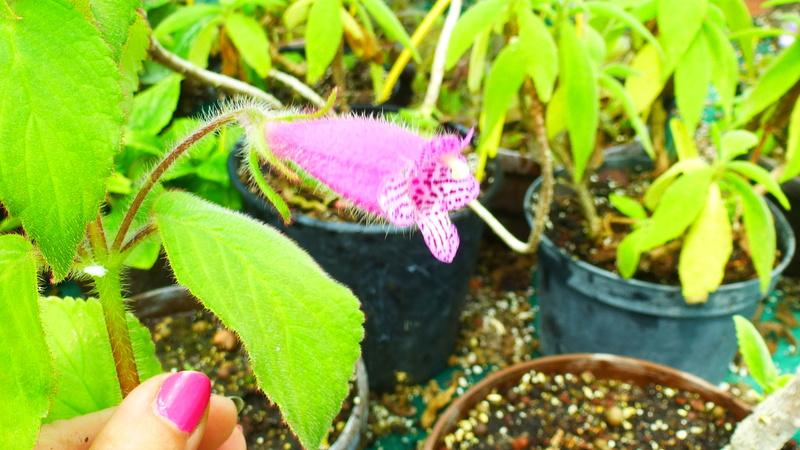 Quelques fidéles sont en fleurs  P1250520