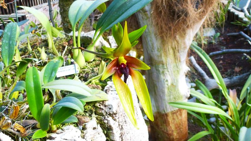 Bulbophyllum carenculatum P1250522