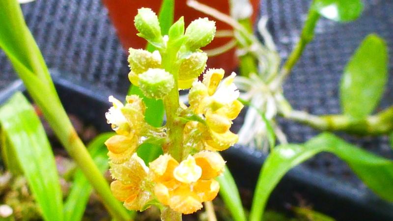 ex : Encyclia maculosa nouveau nom : Prosthechea guttata, P1250528