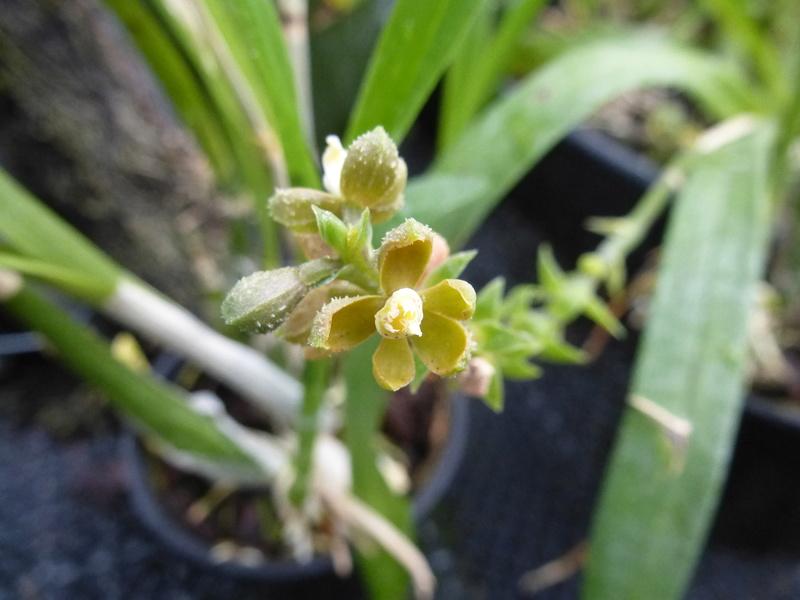 ex : Encyclia maculosa nouveau nom : Prosthechea guttata, P1250530