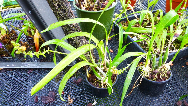 ex : Encyclia maculosa nouveau nom : Prosthechea guttata, P1250531