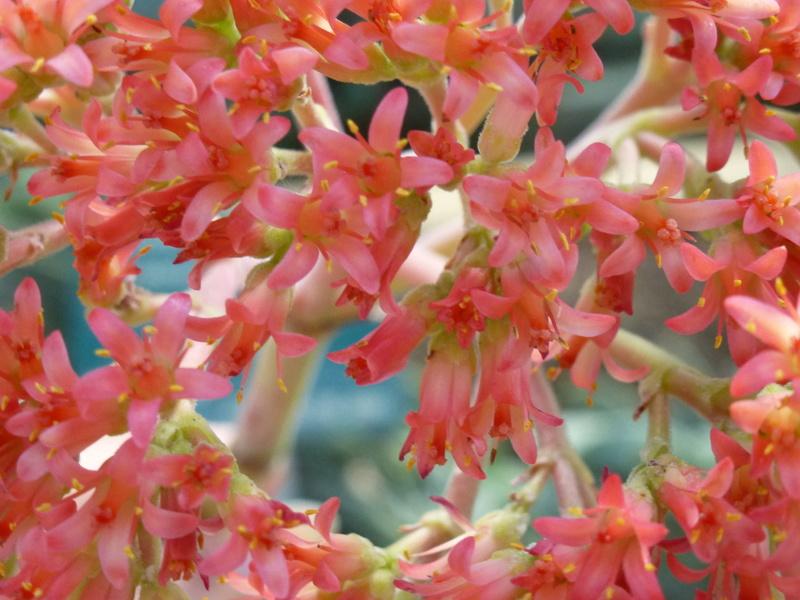 Crassula perfoliata var : falcata  P1250534