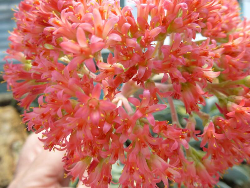 Crassula perfoliata var : falcata  P1250535