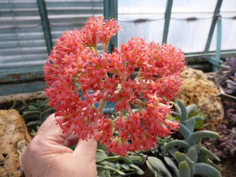 Crassula perfoliata var : falcata  P1250536