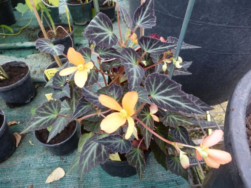 Begonia x Growing Embers  P1250617