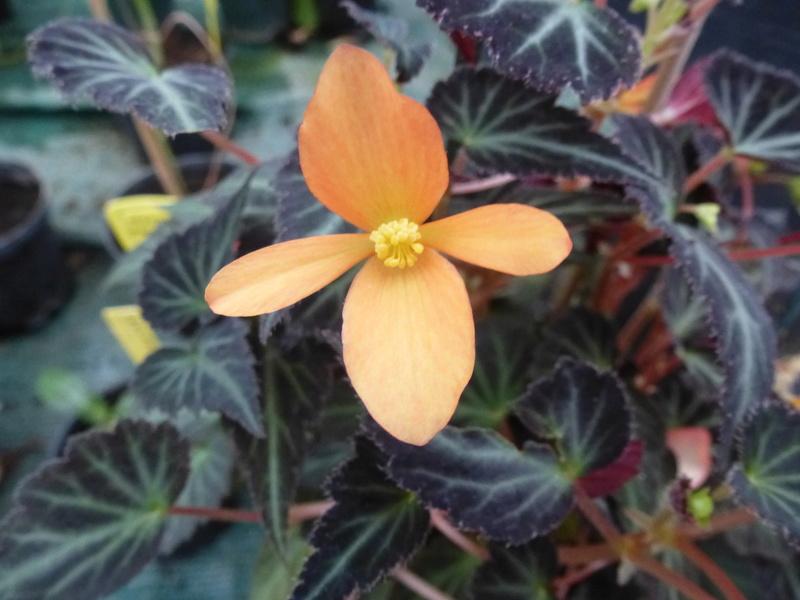 Begonia x Growing Embers  P1250618