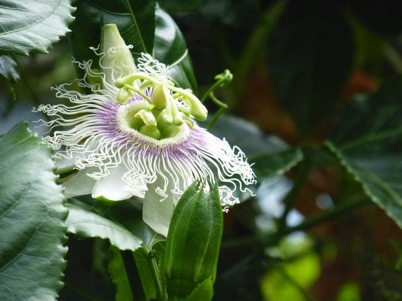 Passiflora mystère ???? P1250626
