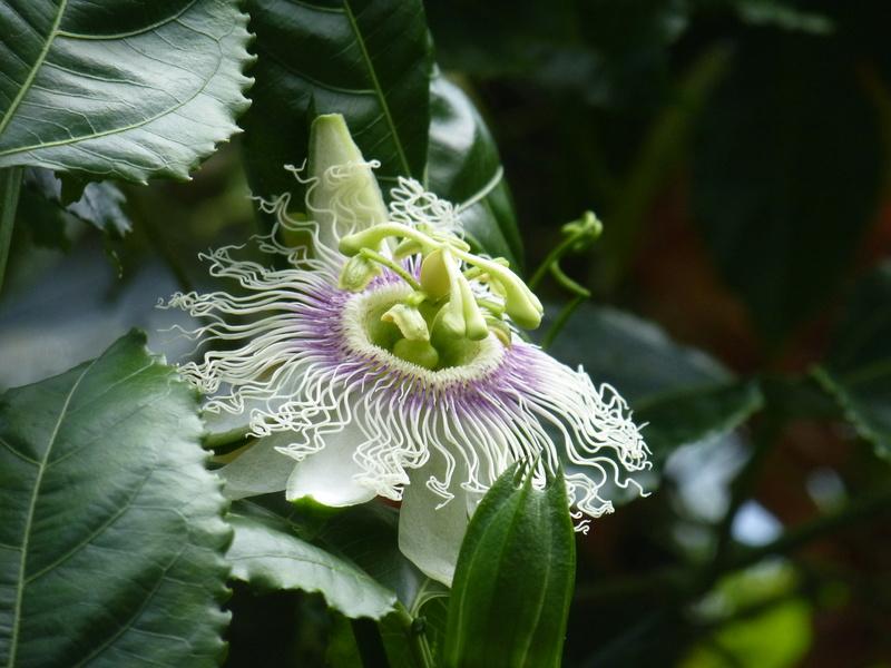Passiflora mystère ???? P1250627