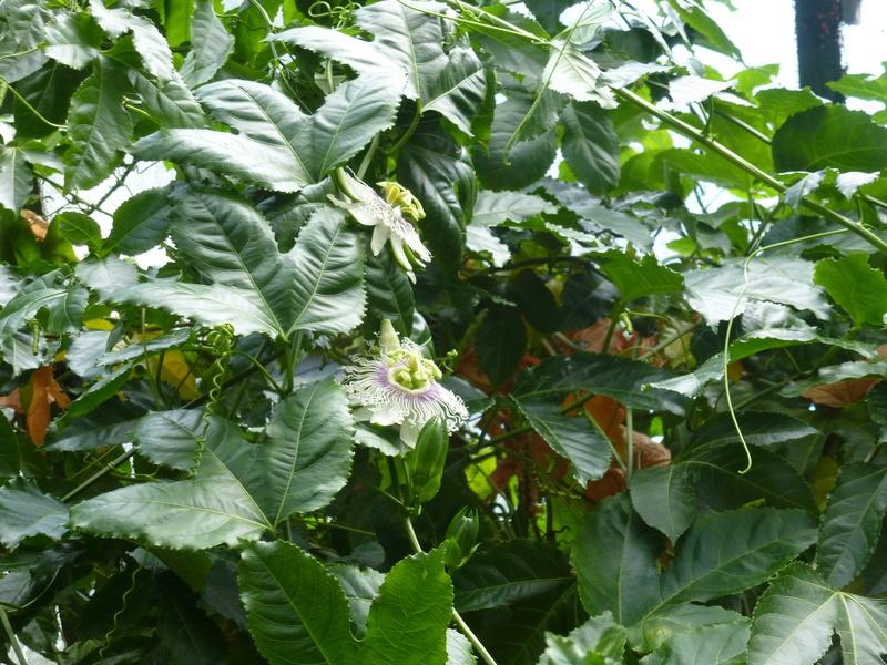 Passiflora mystère ???? P1250628